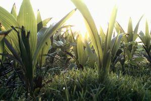 Crecientes Consejos para Curcuma jengibre