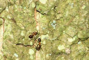 Cómo deshacerse de las hormigas en su jardín, es natural ...