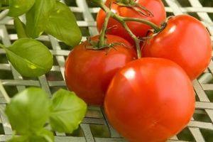 Hojas de color amarillo con manchas negras en las plantas de tomate