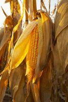 ¿Por qué la borla de maíz precoz?