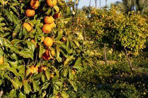 Cómo quitar las naranjas de un árbol después de una helada