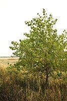 Gusanos del árbol de Catawba