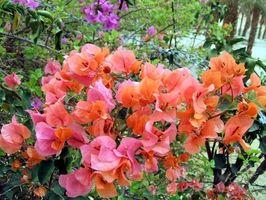 ¿Qué colores se Bougainvillea flores producen?