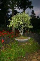 Las plantas enanas de sombra