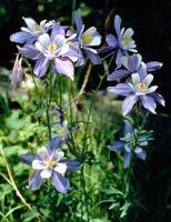 Información sobre la flor de Columbine azul