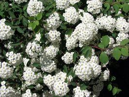 Las plantas con flores de Bush