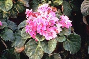 Flores que florecen durante todo el año en la zona 8 del USDA