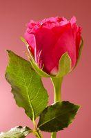 Rosas con las hojas marrones