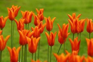 ¿Cuánto mide lirio de flores tulipanes?