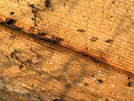 Cómo matar a las hormigas carpinteras que están atacando a un roble