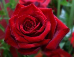 Los mejores rosas para la zona 5