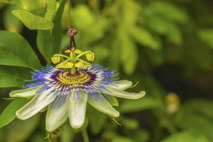 Lo que hace que las hojas amarillas en plantas de pasiflora?