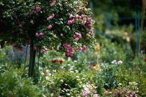 Como para el invierno Rosas Árbol