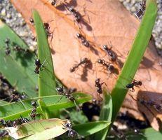 Cómo matar hormigas rápido