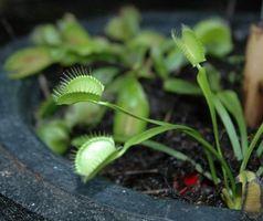 Las plantas carnívoras peligrosas