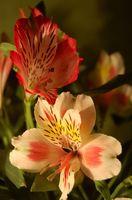 Significado Alstroemeria Flor
