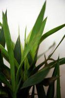 Serán Agua destilada o agua ablandada Hacer una Planta de crecer más alto?