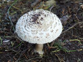 Tipos de hongos que crecen en los jardines de la gente