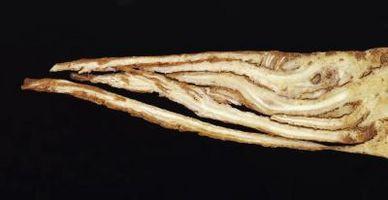 ¿Por qué las células de las raíces vegetales generalmente carecen de cloroplastos?