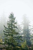 Información sobre la enfermedad de árboles de hoja perenne Llamado Needlecast