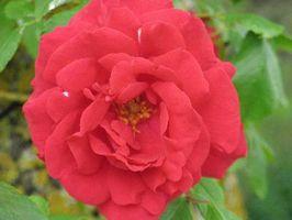 Podría cortar las rosas de un rosal?