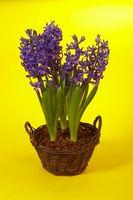Cómo volver a plantar los bulbos del jacinto