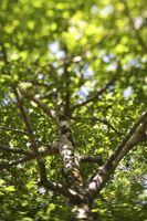 Cómo ancla y Estaca de un árbol con la cuerda