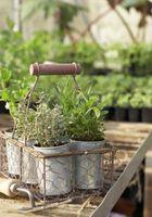 Cómo plantar hierbas como repelentes de insectos