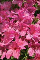¿Qué tipos de hongos o insectos se encuentran en las azaleas?