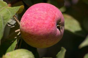 ¿Cómo puedo hacer mi manzano dar fruto?
