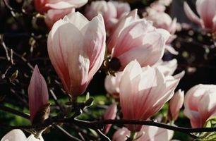 Cómo saber si un árbol de magnolia joven está haciendo bien?