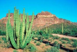 ¿Por Mi Cactus contrajo en tamaño