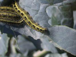 Las orugas verdes que se alimentan de plantas de jardín