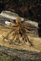 Las arañas árbol africano