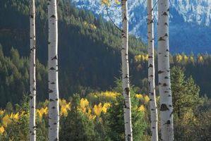 Los árboles que emiten una sustancia química para alejar a los insectos