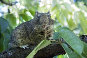 Cómo identificar los roedores en un cobertizo