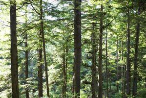 Tipos de semilla de pasto para Bajo los árboles de pino