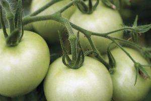 ¿Cómo hacer crecer Hardy noroeste de tomate Portainjerto