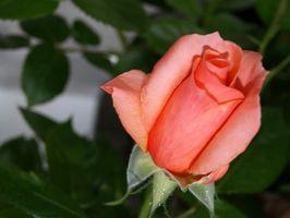 Las mejores maneras de mantener las plantas Rose seguro durante el invierno
