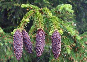 ¿Cómo hacer crecer un árbol de abeto balsámico