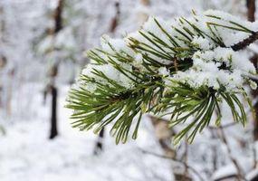 Cómo identificar los tipos de árboles de pino