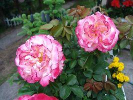 Cuidado de invierno para los arbustos de Rose