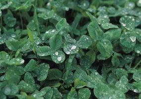 Significados de la flor para el Celtic