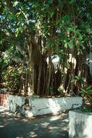 Cómo quitar un árbol de Ficus