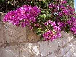 Hacer Bouganvillea plantas como la sombra?