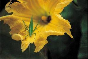 El control natural de insectos de la calabaza