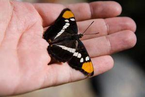 De hoja perenne arbustos de mariposas