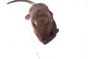¿Cómo deshacerse de los ratones usando los productos para el hogar