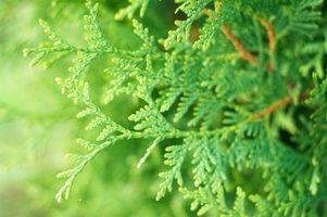 Cómo cuidar y Agua Bonsai árbol del enebro