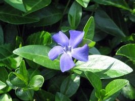 Las plantas que crecen con Vinca